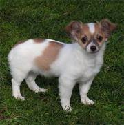sweet female chihuahua puppy for you